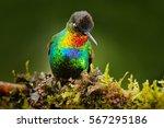 fiery throated hummingbird ... | Shutterstock . vector #567295186
