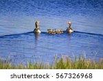 Goose Family. Blue Gree Lake...