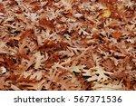 fallen red oak leaves | Shutterstock . vector #567371536