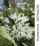 Small photo of Ramsons, Allium ursinum, also known as Wild Garlic, flowerhead with many white flowers