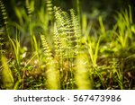 Beautiful Horsetail Sprouts In...