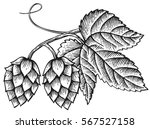 hops icon with leaves vintage... | Shutterstock .eps vector #567527158