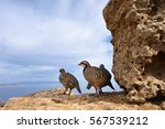 Small photo of The rock partridge (Alectoris graeca) birds on the ruins of the ancient Greek temple of Poseidon at Cape Sounion, Attica Greece