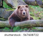 animals and wildlife  grizzly...   Shutterstock . vector #567608722