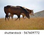 Horse And Cow On Zlatibor...