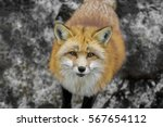 Close Up A Furry Red Fox Is...
