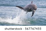 bottlenose dolphin jumping in... | Shutterstock . vector #567767455