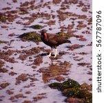 Small photo of American oystercatcher walking in tide pools, ( Haematopus palliatus ) near Otter Rock, Oregon coast