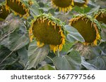 Blooming Big Sunflowers ...
