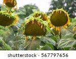Blooming Big Sunflowers ...