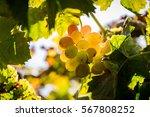 grapes picking at moshav... | Shutterstock . vector #567808252