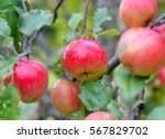 Apples Ripen On The Tree