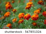 Growing Tagetes Patula Flower...