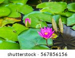 Water Lilies In A Pond In The...