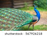 Peacock With Spread Wings In...