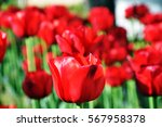 red flower tulips  | Shutterstock . vector #567958378