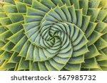 aloe polyphylla   Shutterstock . vector #567985732