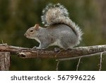 Eastern Grey Squirrel On Branc...