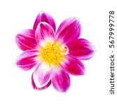 pink chrysanthemum isolated on... | Shutterstock . vector #567999778
