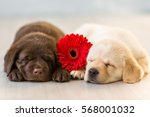 Stock photo labrador puppies with flower 568001032
