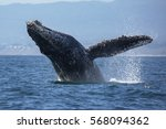 a humpback whale breaches out... | Shutterstock . vector #568094362