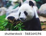 Image Of A Chinese Panda Bear...