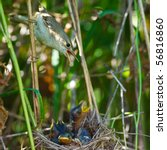 Small photo of Nest of a Marsh Warbler (Acrocephalus palustris) with baby birds in the nature.