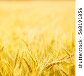 field of wheat. plant  nature ... | Shutterstock . vector #568191856