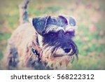 close up playful schnauzer dog... | Shutterstock . vector #568222312