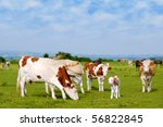 Cows And Calf On Pasture