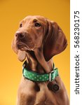 young vizsla pointer dog... | Shutterstock . vector #568230175