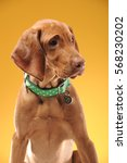 young vizsla pointer dog... | Shutterstock . vector #568230202