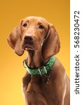 young vizsla pointer dog... | Shutterstock . vector #568230472