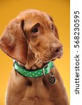 young vizsla pointer dog... | Shutterstock . vector #568230595