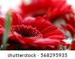 red gerbera daisy  macro | Shutterstock . vector #568295935
