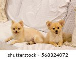 Stock photo two cute pomeranian dogs smiling on the sofa domestic pet and family concept 568324072