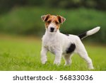 Stock photo jack russell terrier puppy weeks in the grass discovers the world 56833036