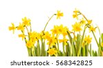 yellow daffodils isolated on...   Shutterstock . vector #568342825