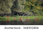 Red Deer And Hinds Walking...