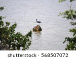 Little Blue Heron Perched On...