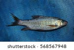 fish on blue background    Shutterstock . vector #568567948