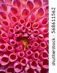 closeup of dahlia flower in... | Shutterstock . vector #568611562