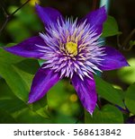 Blue Flower Clematis In The...