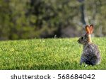 Stock photo california cotton tail rabbit on green lawn focus on rabbit 568684042