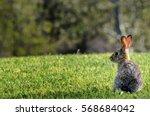 California Cotton Tail Rabbit...