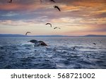 A Humpback Whale Dives Into Th...