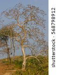 Small photo of Alstonia macrophylla wallich tree commonly known as match stick tree in India.