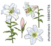 Set Of Hand Drawn White Lily...