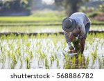 Farmer Planting Rice Sprout In...