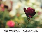 Stock photo red roses in the garden 568909036